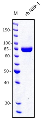 Fig. 1.: SDS-PAGE analysis of recombinant human soluble NRP-1. Sample was loaded in 10% SDS-polyacrylamide gel under reducing conditions and stained with Coomassie blue.